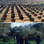 Olive Tree Day decreed by UNESCO thanks to Tunisia and Lebanon