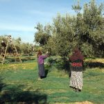 UN, EU Bank Approve More Support for Tunisia's Olive Sector