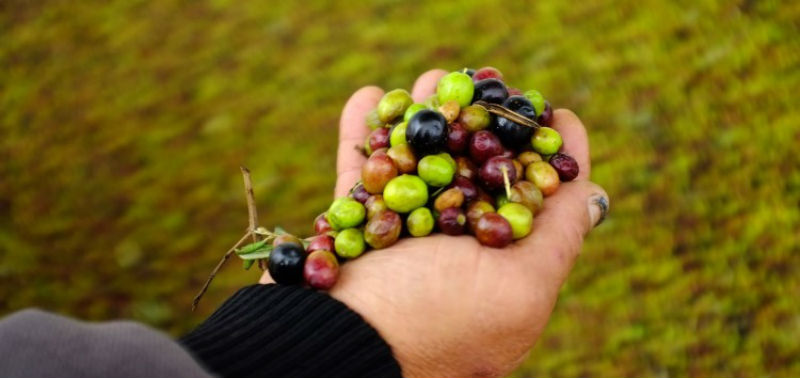 TUNISIA: IFC supports CHO for an ecological production of olive oil